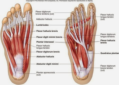 foot-muscle